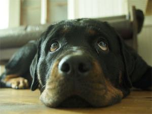 Ist der Rottweiler eine kinderliebe Hunderasse?