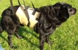 Tiffys Gehhilfe für mittlere Hunde die perfekte Unterstützung beim Laufen oder Treppensteigen Größe M 61-74cm Körperumfang. Aus deutscher Fertigung - hoher Tragekomfort, robustes und abwaschbares Material - 1
