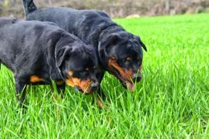 Rottweiler Foto - 06