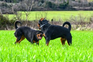Rottweiler Foto - 08